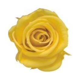 Rosa Amorosa 50cm Amarilla