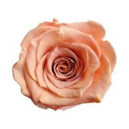 Rosa Amorosa 50cm Melocoton