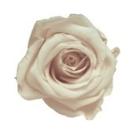 Mini Rosa Amorosa 35cm Champagne